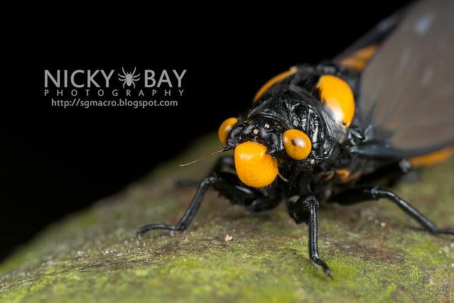 Black and Golden Cicada (Huechys fusca) - DSC_8968