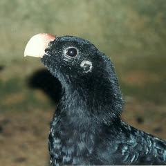 Mutum de Alagoas, espécie brasileira que foi extinta da natureza (Foto: Marco A. Freitas)