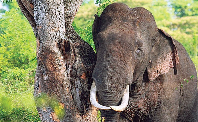 Killings of tuskers: CID to handle probe