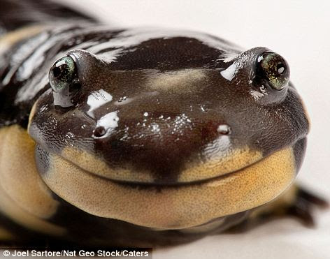 Got something to smile about? This sharks smirks at the camera while a California Tiger Salamander grins from ear to ear