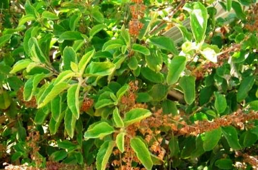 Various Benefits Of Tulsi That Are As A Boon To The Mankind