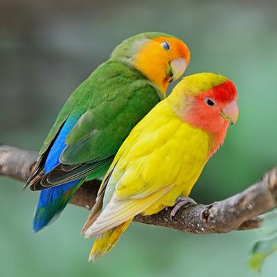 Enfermedad del pico y plumas en las aves