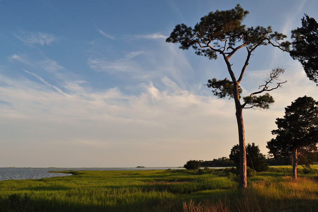 Watchful Pine