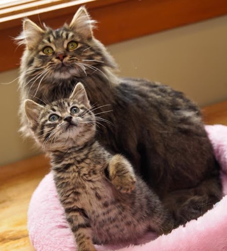 """Maine Coon Adoptions Rescues """"The Dogs of the Cat World"""" - Catster"""