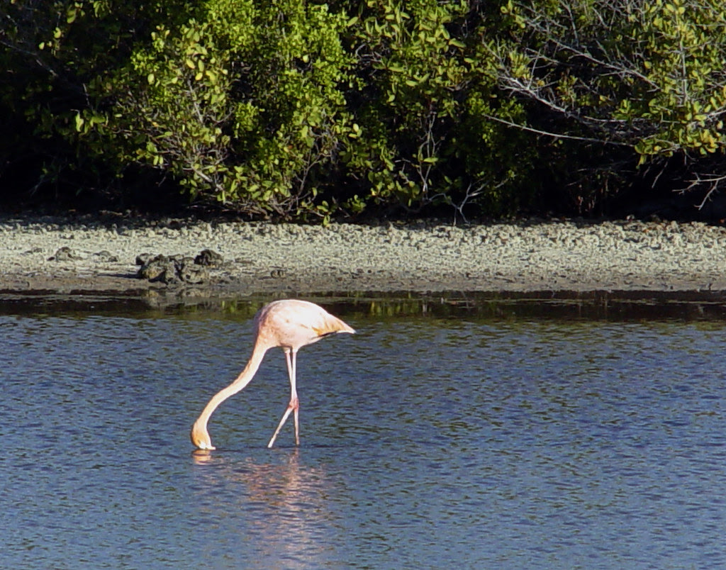 DSC00814 American Flamingo