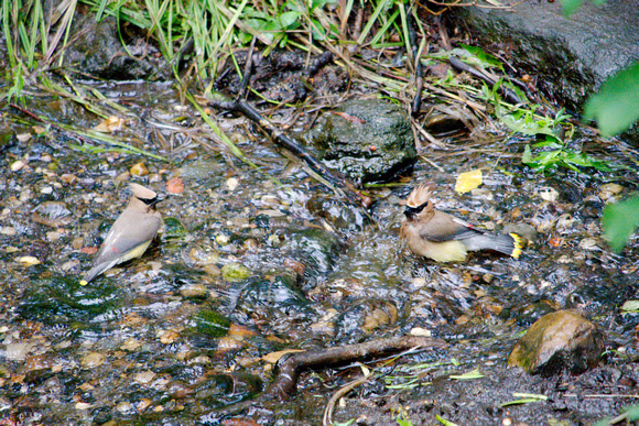 Ed Gaillard: birds &emdash; Cedar Waxwings bathing, Central Park