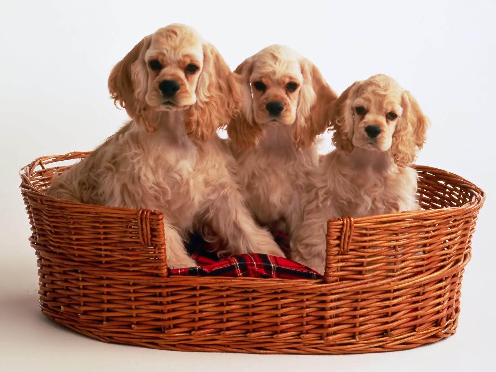Stunning Cocker Spaniel Puppy For Sale | England UK