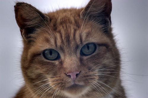 Gadget the feral cat HD headshot photo by Pagani photo