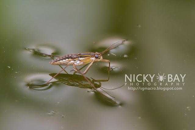 Water Strider (Gerridae) - DSC_8205