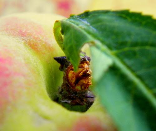 Clingstone Peach