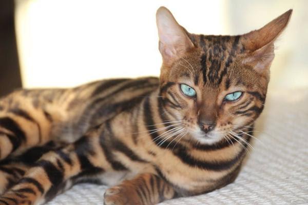 Suche dringend Käufer/In für meine Beagle Katzen in Thalmässing  kaufen und verkaufen über
