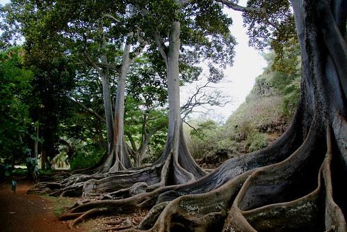 Moreton Bay Figs :: Ficus macrophylla
