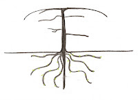 .Line drawing of a tree and its roots - the Tree Following emblem