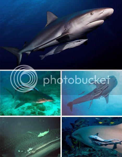 Ramora on Shark Symbiosis