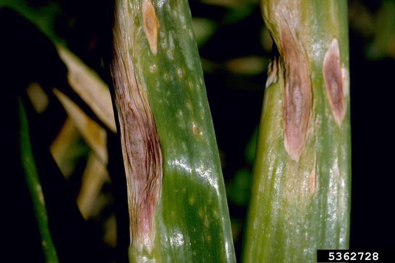 gejala serangan bercak ungu/ trotol pada bawang merah
