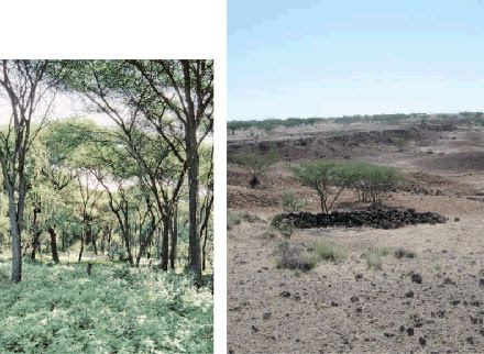 Past and present. Ardipithecus's woodland was more like Kenya's Kibwezi Forest (left) than Aramis today.,,CREDITS (LEFT TO RIGHT): TIM WHITE; ANN GIBBONS