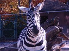 zebra chewing