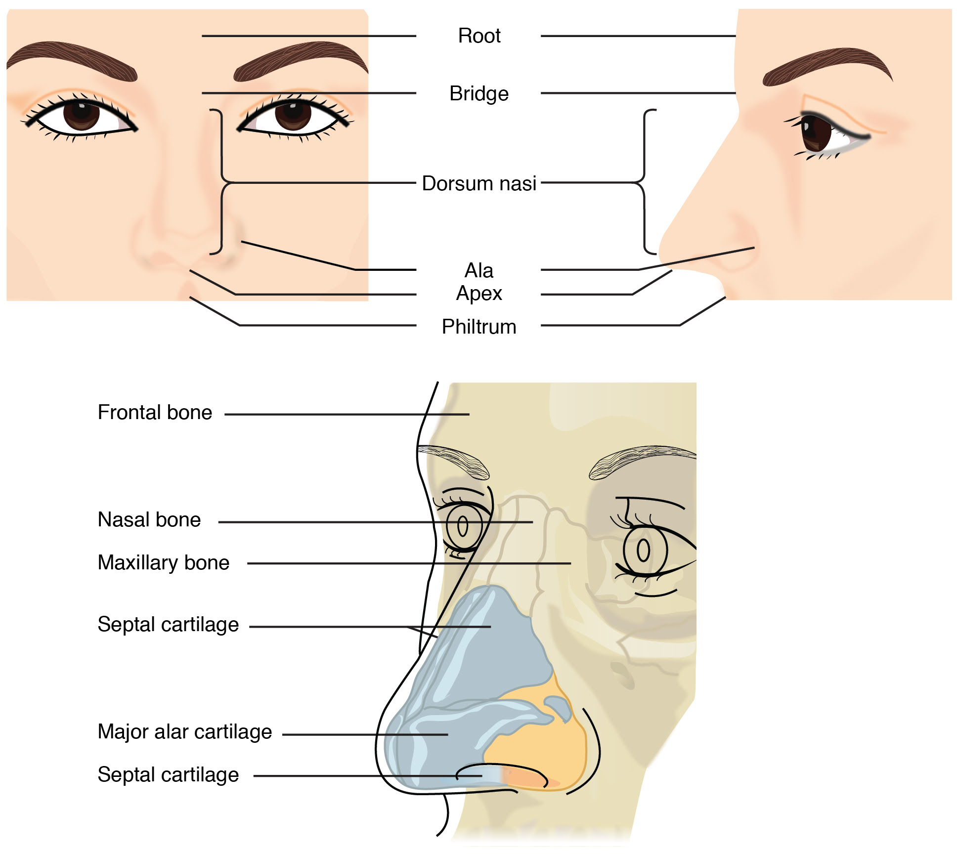 The Nose Contemporary Health Issues