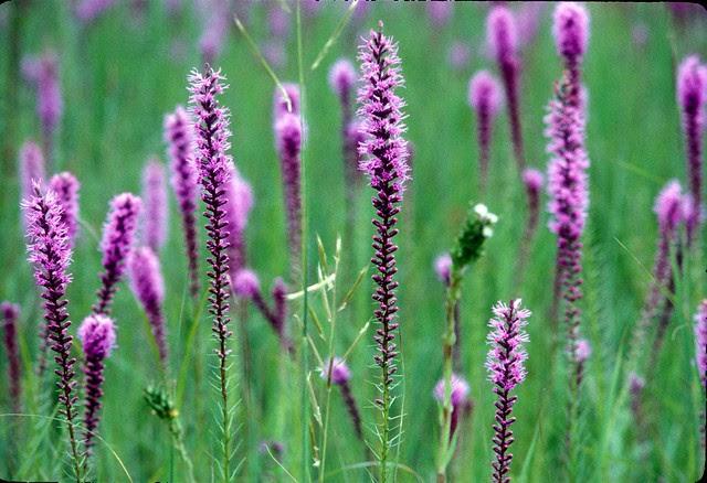 Prairie Blazing Star Flickr Photo Sharing