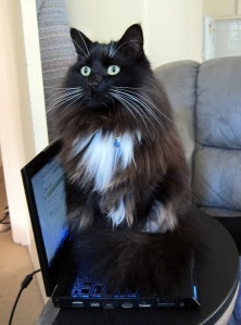 sit-on-laptop-cat