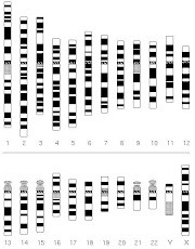 Difference between karyotype and Idiogram