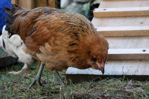 ginger - an araucana chicken IMG_5433