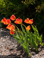Easter Tulips Version I