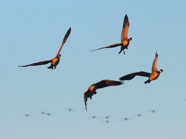 IMG_1692 Aleutian Cackling Geese