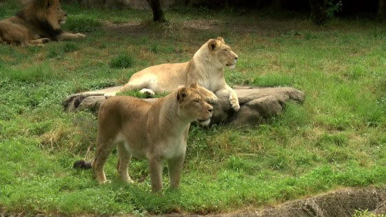 Image: Lions relax in an enclosure at the Memphis Zoo.