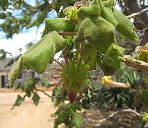 Seed pod of Uncarina roeoesliana at Androhahel...