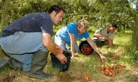 Matt Carroll collects Cider apples at Broome Farm