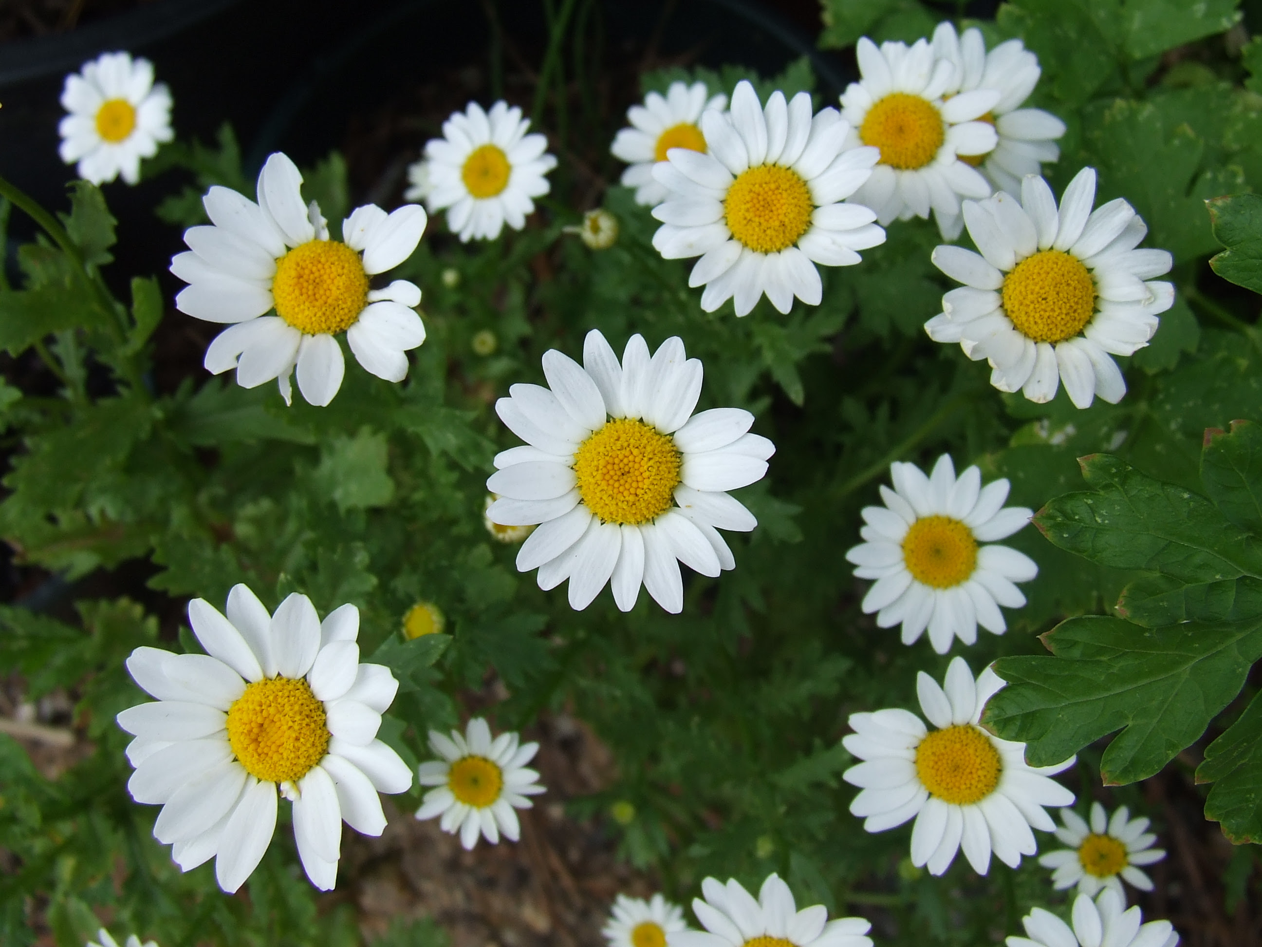 Beautiful flowers flowers daisies pictures daisy flowers izmirmasajfo Image collections