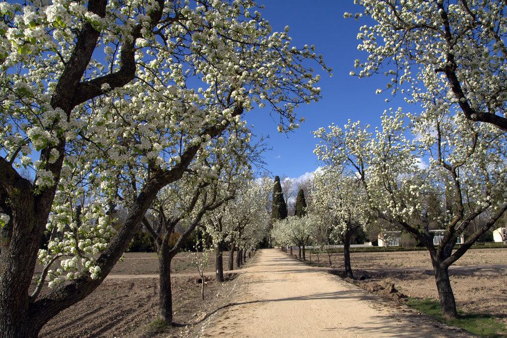 Un paseo con los perales en flor