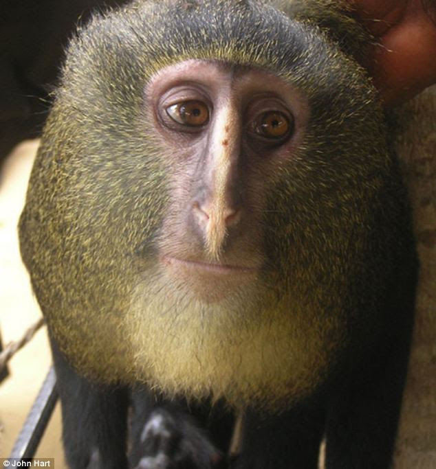 The lesula, a colourful new species of monkey discovered in Africa