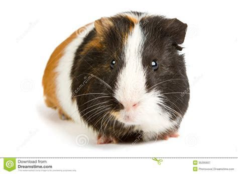 Guinea Pig Little Pet Rodent Royalty Free Stock Photography   Image: 35295607