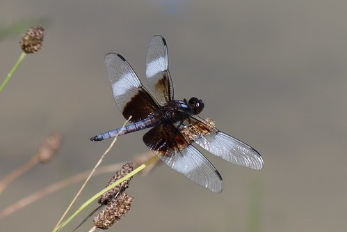 IMG_0875_Widow_Skimmer_Dragonfly_at_Ouabache