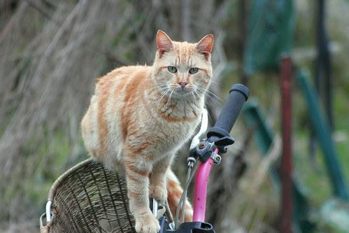 Bicycle Cat Feral Cat  Natural Photo