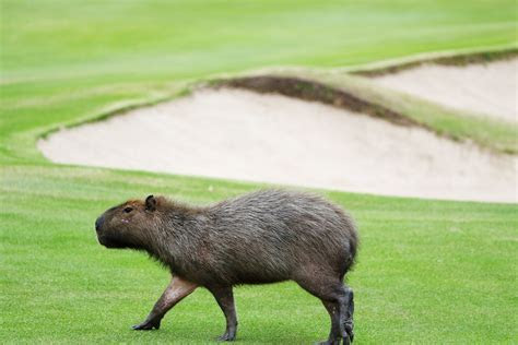 Capybaras, among other wildlife, become stars of the Olympic golf course   Golf Digest