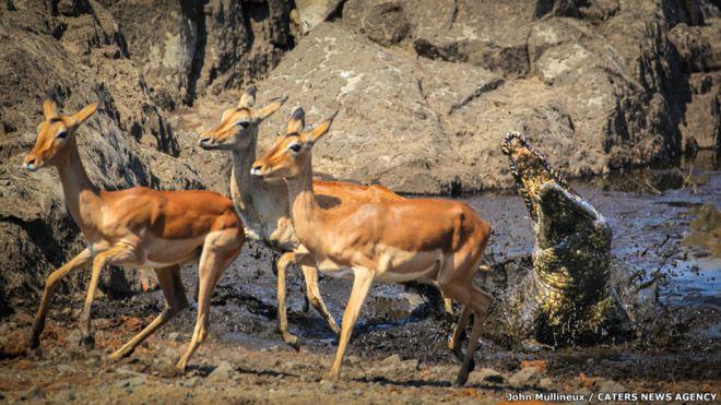 কুমির, ইমপালা হরিণ, ক্রুগার জাতীয় পার্ক, দক্ষিণ আফ্রিকা