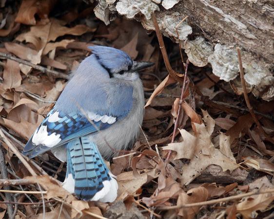 Ed Gaillard: birds &emdash; Blue Jay, Central Park