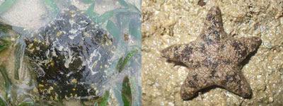 Seastar-Culcita novaeguinea (Cyrene) & Asterina coronata (Changi)
