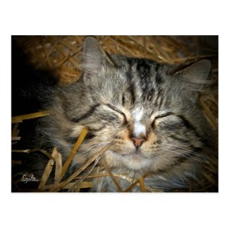 Feral Cat Sleeping in Winter Shelter Post Card Postcard