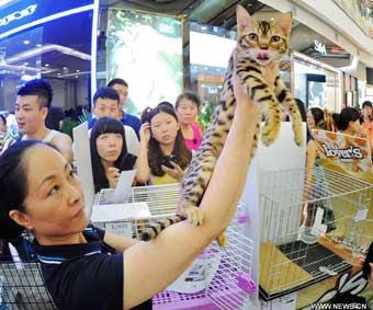 Bengal cat at a cat show Harbin China