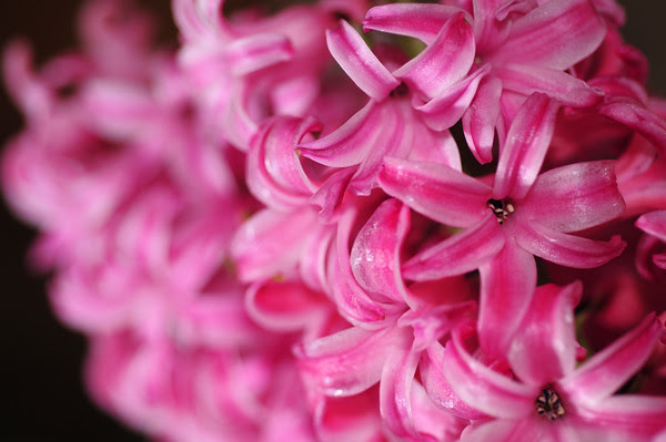 Valentine Hyacinths