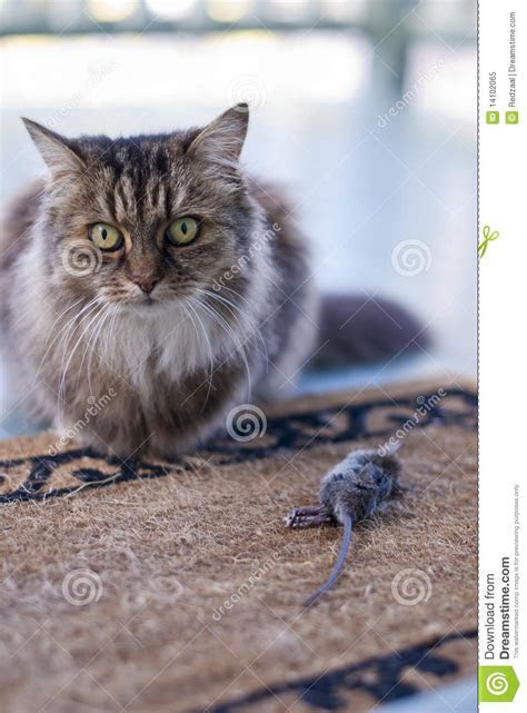 Cat Presenting Dead Mouse To Family Stock Image   Image: 14102065