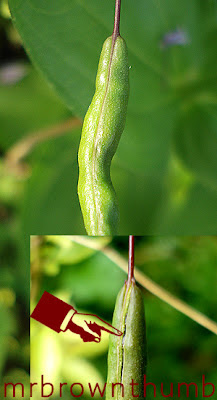 Cleome Seed Pod, When I collect Cleome Seeds