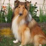 Ryder - All Things Collie