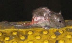 The ugliest rat in New York: Revolting rodent wins subway workers' top prize   Daily Mail Online