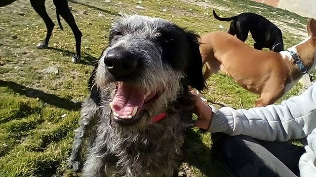 Moises – 2 year old male German Wire-Haired Pointer Cross