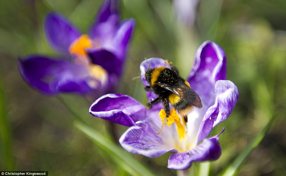 A bee goes about its business as the sun shines on Waterlow Park in London